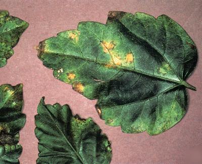 Вредители гибискуса и лечение в домашних условиях